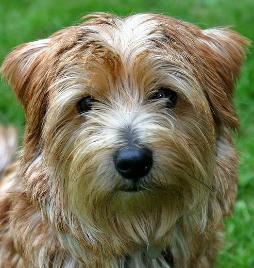Hypoallergenic Dog Breeds Jack Russell Terrier