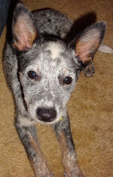 Hunderasse: Australian Cattle Dog, Bildquelle: Christopher, 2