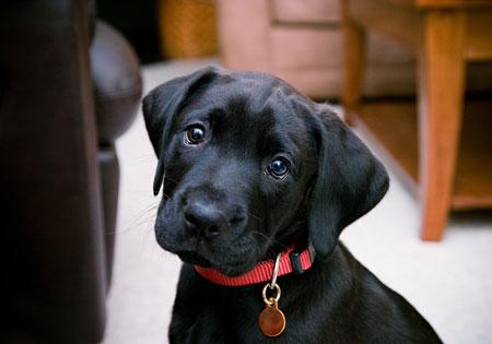 Hunderassen Labrador Retriever