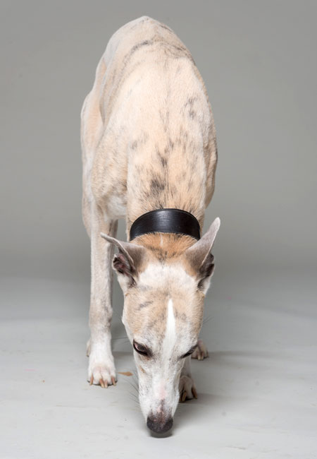 (1) - Hunderasse: Whippet, Bildquelle: Klaus Dyba / True Dogs Photo
