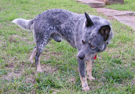 (1) - Hunderasse: Australian Cattle Dog, Bildquelle: Wikimedia Commons / Public Domain