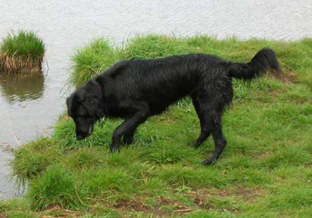 (1) - Hunderasse: Flat Coated Retriever, Bildquelle: Wikimedia Commons / Public Domain